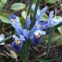 Iris_reticulata_cantab_
