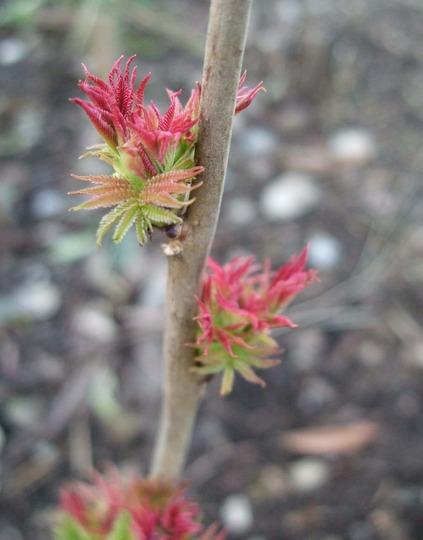 New shoots... (Sorbus sorbaria 'Sem')