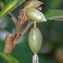 Berries (Elaeagnus x ebbingei (Elaeagnus))