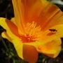 calafornian poppy (Eschscholzia californica (California poppy))