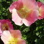 c.poppy (Eschscholzia californica (California poppy))