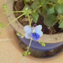 First Flower of the Year (Clerodendrum ugandense (Blue glory bower))