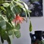 Ripsalidopsis graeseri