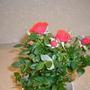 Lidal Red Rose