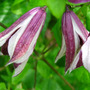 A garden flower photo (Clematis texensis &#x27;pagoda&#x27;)