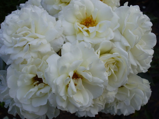 wonderful blossom (rosa)