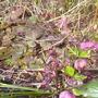 pinky hellebores with Tellima grandiflora 'rubra' (Helleborous)