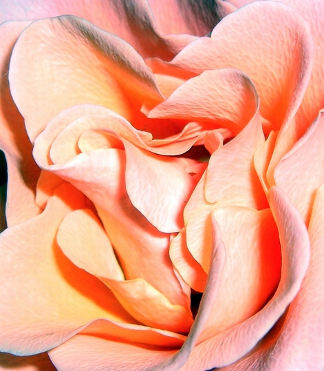 The beauty of a pink rose
