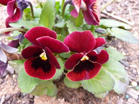 Burgundy Viola