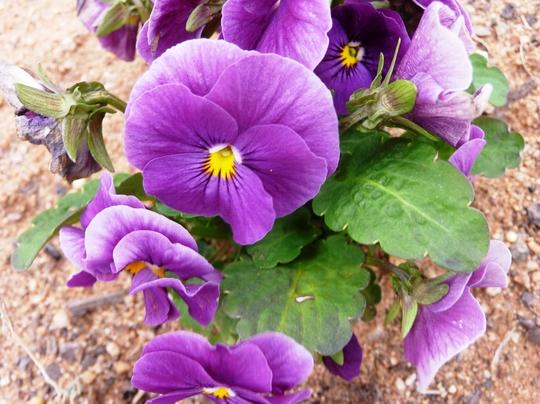 Violas (Viola)