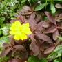 yellow one with purple euphorbia (Cosmos sulphureus (Cosmea Bright Lights))