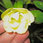 double yellow hellebore