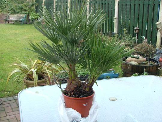 Chamaerops humilis (Chamaerops humilis (Dwarf Fan Palm))