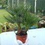 Chamaerops humilis (Chamaerops humilis (Dwarf Fan Palm))