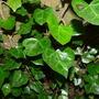 H.helixpoetarum_amberfruitform_