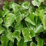 Hedera rhombea variegata