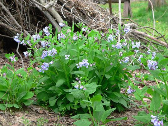 Colony of VA Bluebells (Mertensia virginica)