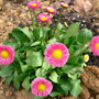 Daisy_english_bellis_perennis_4_22_08_sm