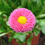 Daisy_english_bellis_4_12_08