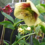 Yellow spotted Hellebore~