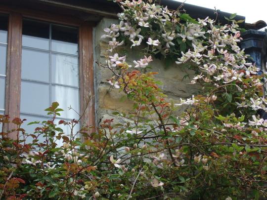 Clematis montana around the bedroom window