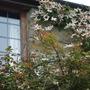 Clematis_montana_round_window