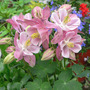 "Columbine ""Winky Rose-Rose"" (Aquilegie ""Winky Rose-Rose"")"