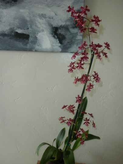 I FINALLY PURCHASED A CHOCOLATE ORCHID!!! : > ) (I finally purchased an Oncidium Sharry Baby 'Sweet Frangrace')