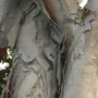 Melaleuca quinquenervia - Paperbark Tree Trunk Close up (Melaleuca quinquenervia - Paperbark Tree)