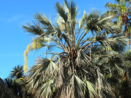 Brahea armata - Mexican Blue Palm  (Brahea armata - Mexican Blue Palm)
