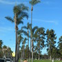 Syagrus romanzoffiana - Queen Palms freshly pruned (Syagrus romanzoffiana - Queen Palm)