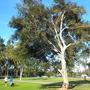 Ficus rubiginosa - Rusty Fig, Port-Jackson Fig  (Ficus rubiginosa - Rusty Fig, Port-Jackson Fig)