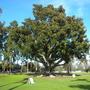 Ficus macrophylla - Moreton Bay Fig, Australian Banyan Tree (Ficus macrophylla - Moreton Bay Fig, Australian Banyan Tree)
