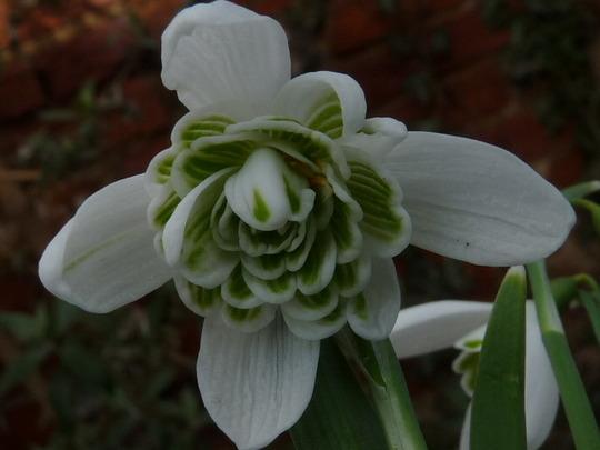 Galanthus nivalis - double Snowdrop (Galanthus nivalis (Common snowdrop))