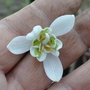 Snow drop double (Galanthus nivalis (Common snowdrop))