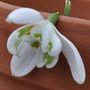 Double Snowdrops (Galanthus nivalis (Common snowdrop))