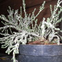 OZOTHAMNUS SELAGO