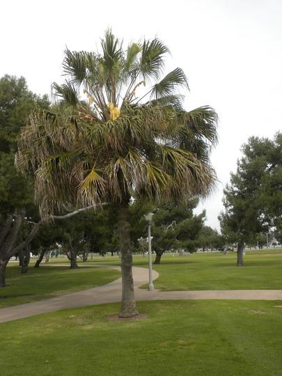 Livistona australis - Australian Fan Palm, Australian Cabbage Palm (Livistona australis - Australian Fan Palm, Australian Cabbage Palm)