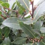 laurus_nobilis. (sweet bay) (Laurus nobilis (Sweet bay))