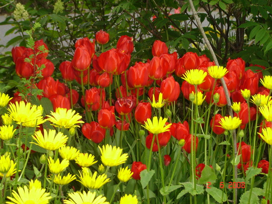Front border (Doronicum orientale, tulip is Appeldorn, and Sambucus racemosa)