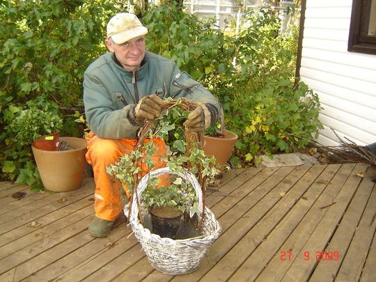 Training the Ivy (Hedera helix (English ivy))
