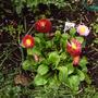 bellisima_planted.jpg