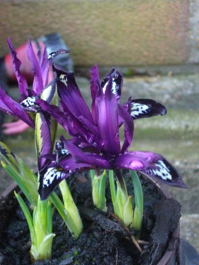iris reticulata 'Purple gem'? (Iris reticulata 'Purple Gem')