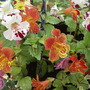 "Mimulus (""Monkey Flower"") var. ""Magic Rainbow"""