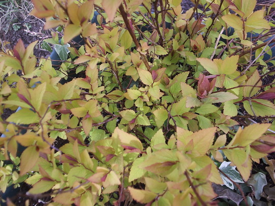 """Spiraea japonica """"Gold Flame"""""""