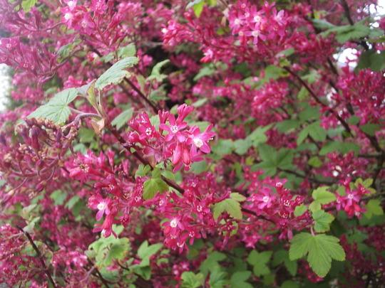 Flowering Red Currant (Ribes sanguinem)