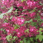 Flowering Red Currant (Ribes sanguinem)