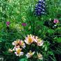 Alstroemeria and Lupin (Alstroemeria'Little Miss Rosanna' , Lupinus)