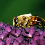 Honey_bee_on_buddleia_copy