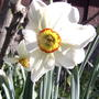 Daffodil (Narcissus poeticus)